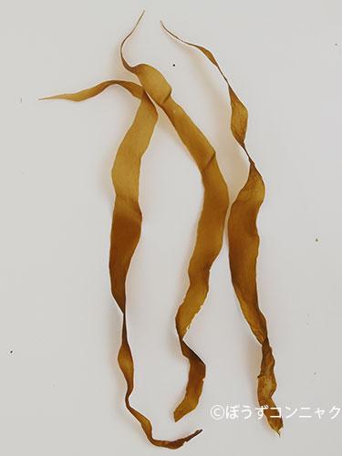 セイヨウハバノリの形態写真