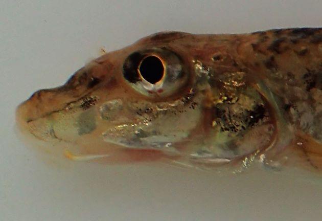 20cm SL 前後になる。ヒゲは目の前縁に達しない。