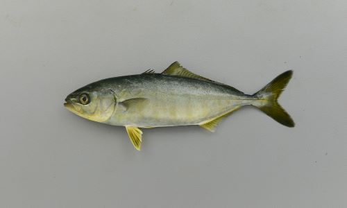 山形県、富山県でアオコ、愛知県でアブコ、九州北部でワカナゴ、高知県でモジャコ(藻雑魚)と呼ばれる10cm以下のまだ縞模様の残るもの。