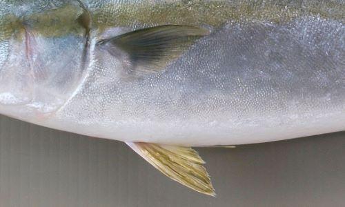 胸鰭と腹鰭はほぼ同じ長さ。ヒラマサは腹鰭の方が長い。