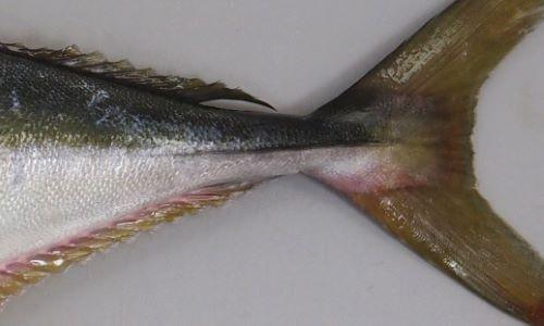 稜鱗(ぜんご)は尾の部分のみにあり、背鰭・尻鰭と尾鰭の間に離鰭(小さな鰭)はない。