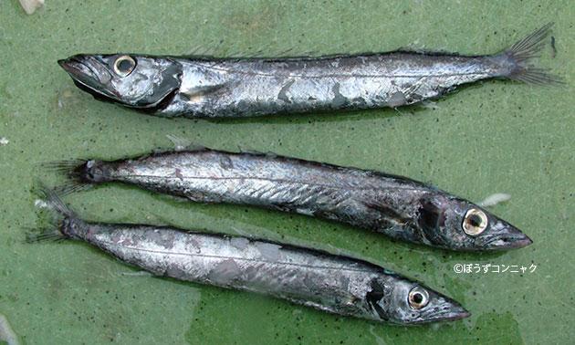 フウライカマスの形態写真