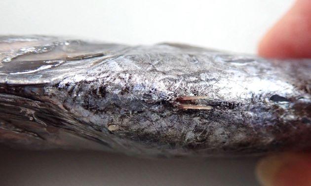 腹鰭は小さく痕跡的で1棘。