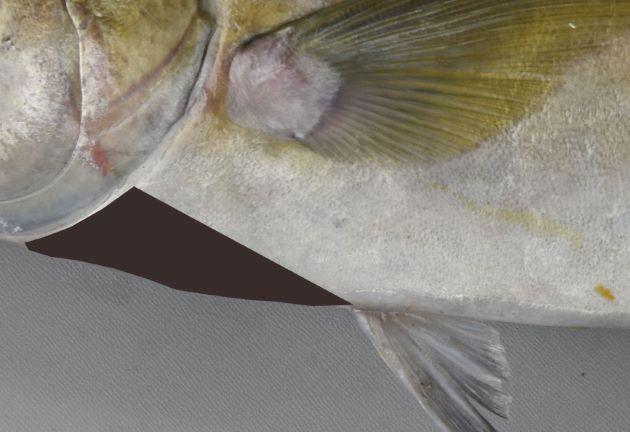 胸鰭下にも鱗があり、無鱗域は狭い。