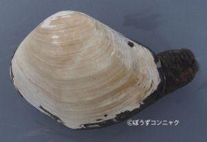 ヤマナリアメリカミルクイのサムネイル写真