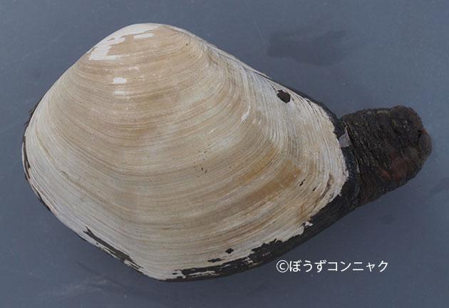 ヤマナリアメリカミルクイの形態写真