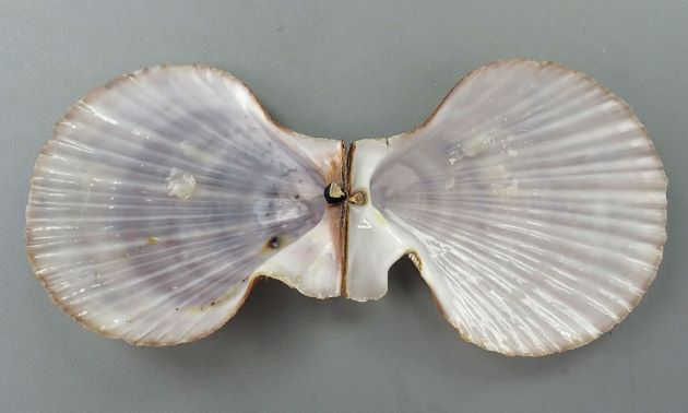 8cm SH 前後になる。イタヤガイ科では縦長で左殻は右殻よりも少し膨らむ。足糸湾入は深く、広く開口する。放射肋が無数にあり、鱗片が不規則にある。