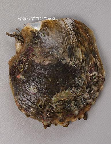 クロチョウガイの形態写真