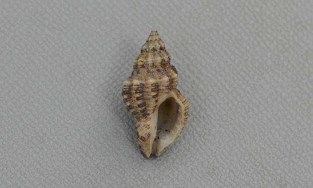 カゴメガイの形態写真