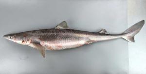 アブラツノザメ