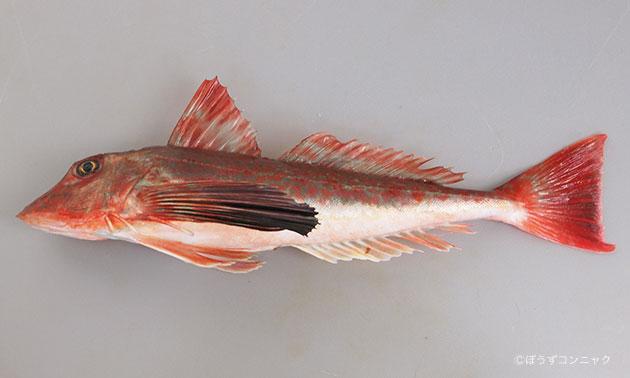 60センチ近くになる。羽がある。鳴く魚。稚魚期には黒く、若魚から成魚へと赤くなる。頭が大きく四角い、やや細長い。