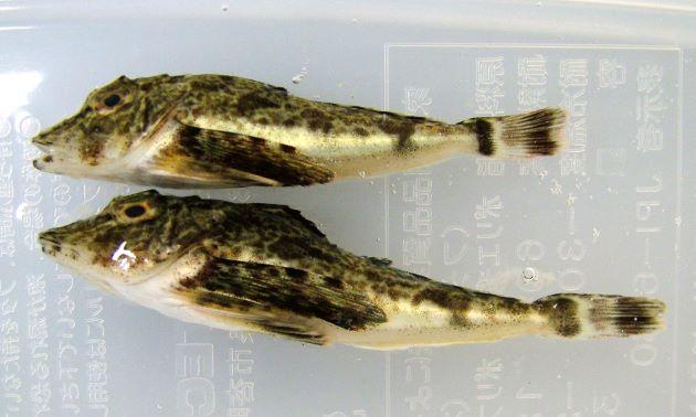 稚魚期は黒く、成長に従い赤くなる。