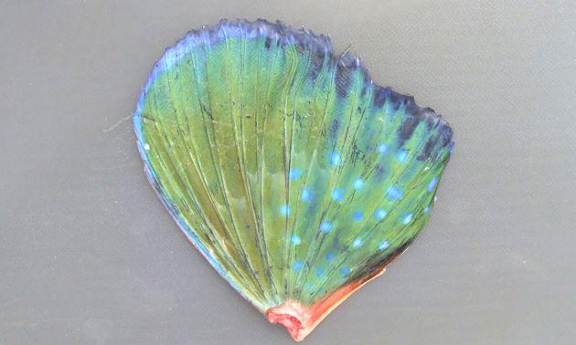 ホウボウの胸鰭は大きく、コバルトグリーンでとても美しい。