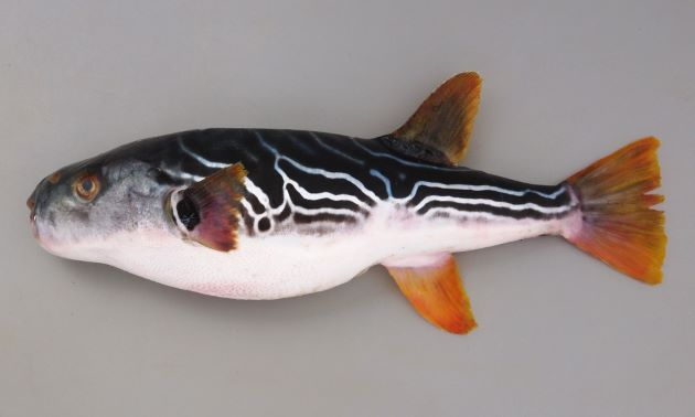 55cm SL 前後になる。腹鰭がなく、典型的なフグ型。背中に黒と白の斜め後方に下がる縞模様があり、鰭が黄色い。胸鰭の後方に黒い斑紋はない。