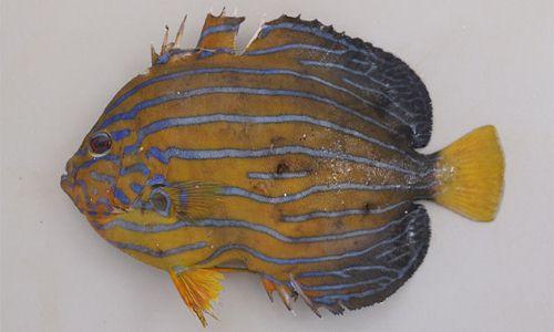 キンチャクダイの生物写真