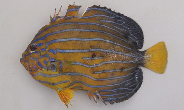 キンチャクダイの形態写真