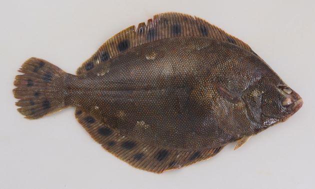 体長40cmを超える。表(有眼側)は櫛鱗(しつりん)でザラザラしている。裏側、鰭に丸く黒い斑文が散らばる。