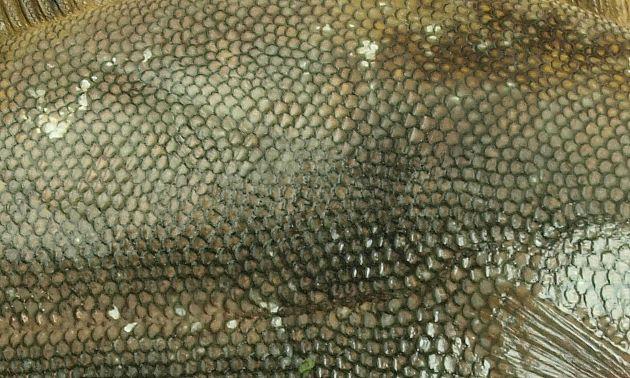 マツカワガレイ属(ホシガレイとマツカワガレイ)の鱗は櫛鱗(しつりん)硬くザラザラしている。