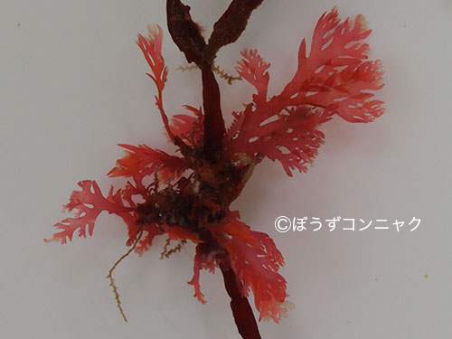 ヒロハタマイタダキの形態写真