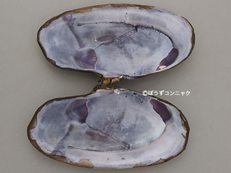 ムラサキガイの貝殻内側