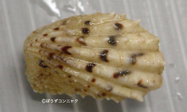 クロフトマヤガイの形態写真
