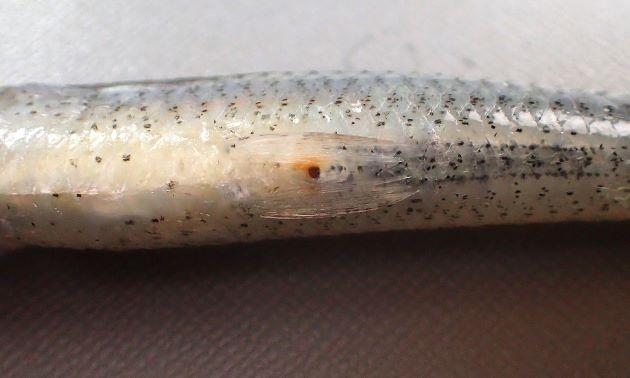 体長約15cmになる。肛門は腹鰭基部と後端の間に開く。