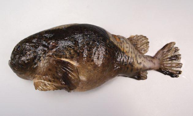 30cm TL 前後になる。吸盤がある。全体に丸みがあり、第一背鰭は皮下に埋没していて見えない。