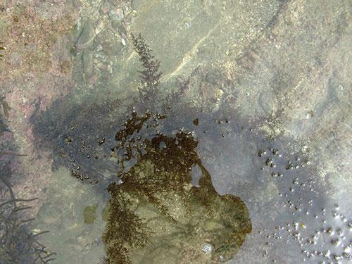 タマハハキモクの形態写真