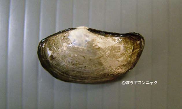 オオベッコウキララガイの形態写真