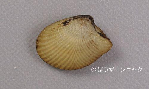 オオキララガイの生物写真