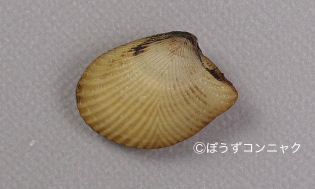 オオキララガイの形態写真
