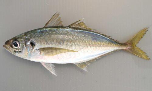 SL 40cm前後になる。細長いが比較的厚みがない(左右に平たい)。小離鰭がない。稜鱗(「ぜんご」とも硬くトゲトゲしい鱗)は頭部後方から始まり、尾鰭まで続く測線すべてに渡ってある。
