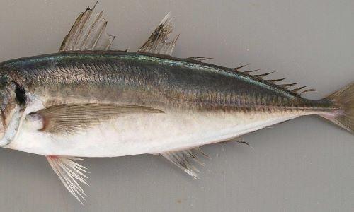 小離鰭がない。稜鱗(「ぜんご」とも硬くトゲトゲしい鱗)は頭部後方から始まり、尾鰭まで続く測線すべてに渡ってある。