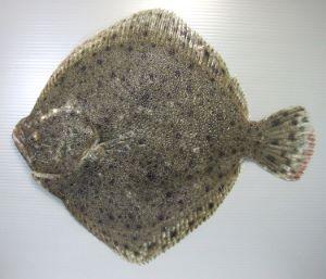 イシビラメのサムネイル写真