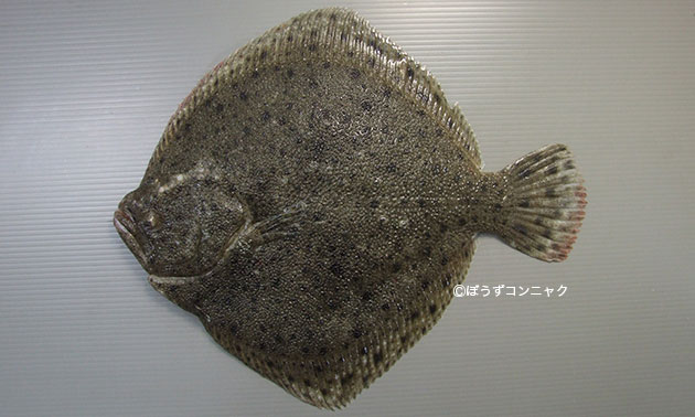 チュルボの形態写真