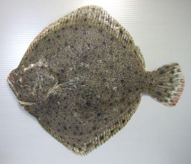 イシビラメの形態写真