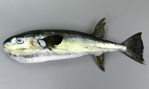 体調50cm前後になる。背面と腹面にトゲがある。胸鰭、背鰭、尻鰭、尾鰭は黒い。尾鰭下葉は上葉よりも長い。