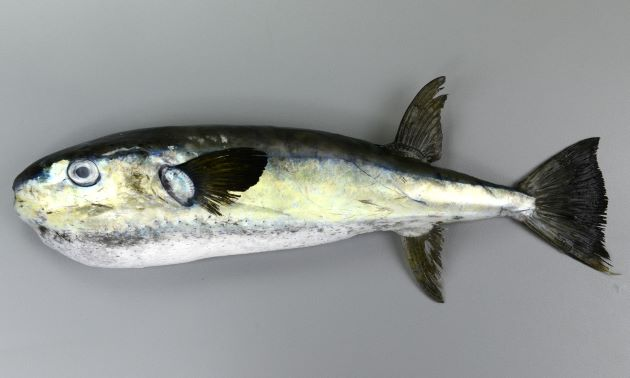 クマサカフグの形態写真