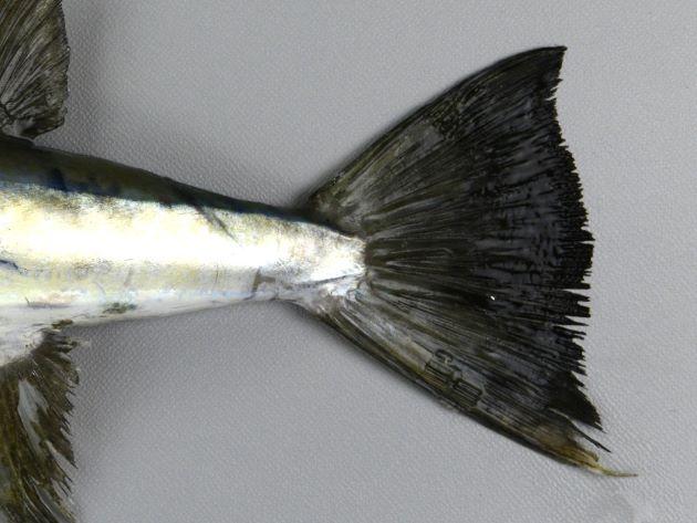 尾鰭下葉は上葉よりも長い。