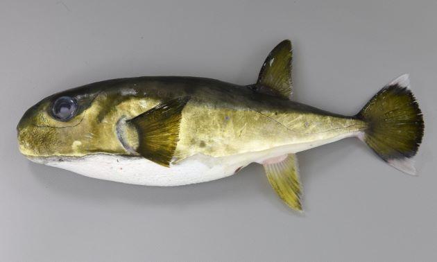 体調35cm前後になる。紡錘形で小さな棘が背面と腹部にあり、背面の棘は背鰭ふきんに達しない。尾鰭の上葉、下葉が伸びる。