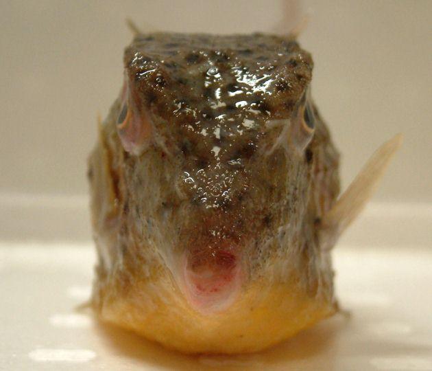 SL 13cm前後になる。体甲は背鰭起部後端あたりまでしか被われない(ハコフグ科は背鰭よりも後ろまで被われる)。背鰭軟条は10-13、甲板にいくつもの棘がある。