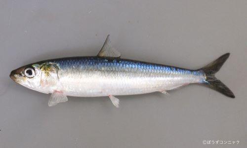 紡錘形、細長い。いわゆるイワシ型。背は黒く、腹は銀白色。鰭(ひれ)に棘(とげ)がなく、背鰭は身体の中心にある。胸鰭、腹鰭、尻鰭が離れてある。30センチ前後になることも。写真は「斑紋のないタイプ」。体側の斑紋はあるものと、ないタイプがある。