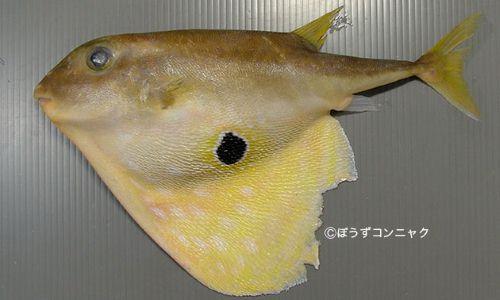 ウチワフグの生物写真