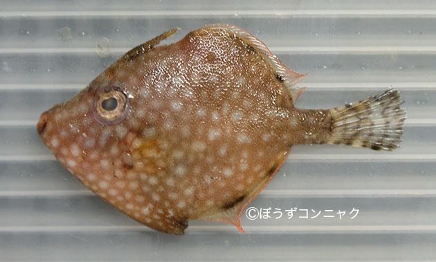 アミメハギの形態写真
