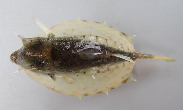 21cm SL 前後になる。断面は分銅(四角形)で眼上に棘、腹側隆起棘がある。尾鰭はあまり長くない。あまり高くない背隆起中央に後方に棘がある。[6cm SL・重さ78g]