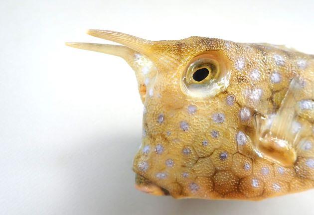 30cm SL 前後になる。体の段名は四角形。著しく長い目の上の眼上棘と、後方に向かう腹側隆起棘がある。