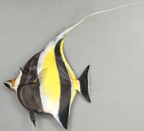 体長25cm前後になる。体高の方があり、体は微少櫛鱗で被われてサンドペーパーのようで布状に剥がすことができる。背鰭第3から7棘が伸びる。目の前方は幼魚では丸く、成長すると棘状に突出する。[成魚]