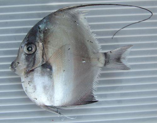 体長25cm前後になる。体高の方があり、体は微少櫛鱗で被われてサンドペーパーのようで布状に剥がすことができる。背鰭第3から7棘が伸びる。目の前方は幼魚では丸く、成長すると棘状に突出する。[幼魚]