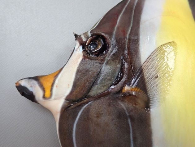 25cm SL 前後になる。体高の方があり、体は微少櫛鱗で被われてサンドペーパーのようで布状に剥がすことができる。背鰭第3から7棘が伸びる。目の前方は幼魚では丸く、成長すると棘状に突出する。[成魚]