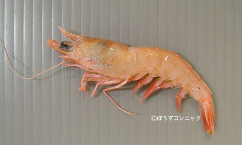 オキサルエビの生物写真
